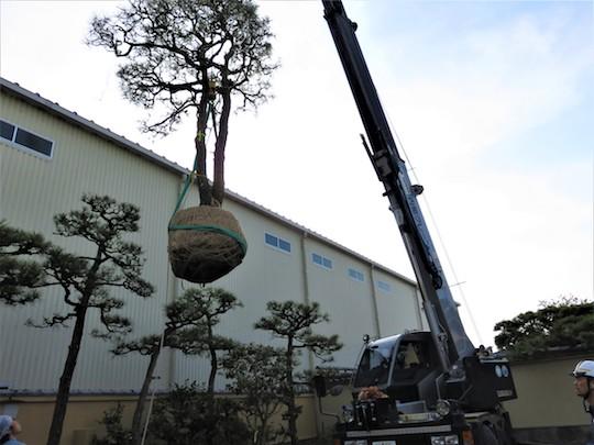 掘り上げた松の木が再び植えられます。