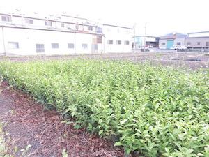 お茶の苗木をゆずっていただき、庭に植えさせていただきます。