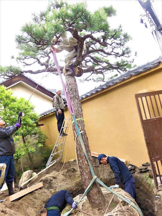 既存の松が大きくなりすぎ沈み込んでいたため、根を巻き高さを上げています。人が埋まるほどの穴で大変な作業です。