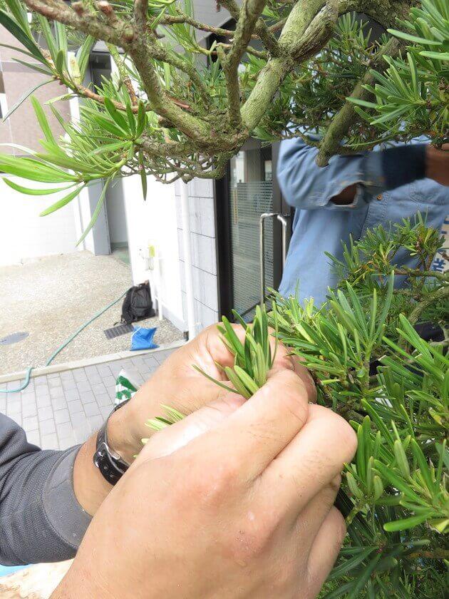 ③槇の古葉の葉むしり剪定